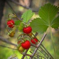 За ягодами :: Алексей (GraAl)
