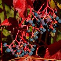 Дикий виноград :: Александр