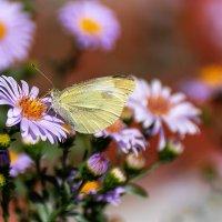 Бабочка :: Игорь Сикорский