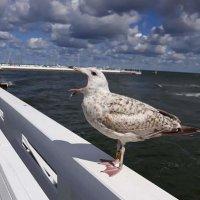 Балтийская чайка :: Galina Belugina