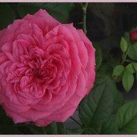 Роза в моем доме :: Вера