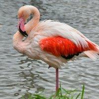 Розовый фламинго :: Татьяна Каневская