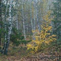 В дождь, в сентябрьском лесу... :: Михаил Полыгалов