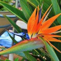 Райская птица стрелиция :: Natali Positive