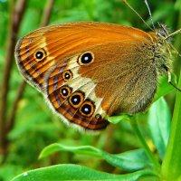 Coenonympha arcania (Linnaeus, 1761) - Сенница таинственная :: vodonos241