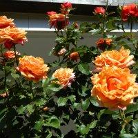 Крымские розы :: Алла Захарова
