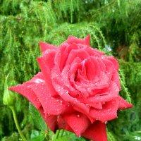 Роза после дождя :: Анатолий Кувшинов