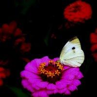 Лето - бабочка :: Геннадий Храмцов
