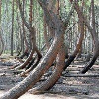 Пьяный лес :: Валерий Судачок
