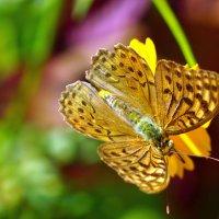 Бабочка на цветке :: Сергей Беляев
