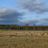 На фермерском поле птицы собираются  в стаи перед долгим полётом. :: Андрей