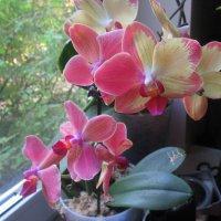 Орхидеи :: Лариса