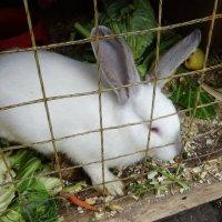 Кролик в клетке при храме :: татьяна