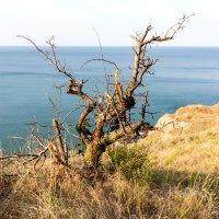 Southern tree near the sea :: Sergey Sergaj