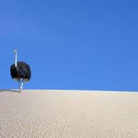 Страус  в  пустыне :: Геннадий С.