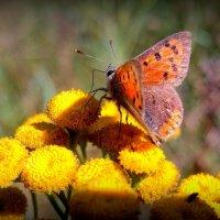 и снова про рыжих бабочек 4 :: Александр Прокудин