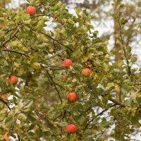Осенние яблоки :: Aнна Зарубина