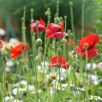 """Триптих 2 """"Маки по саду разбросаны дивно..."""" :: Наталья Natupans"""