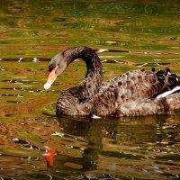 чёрный лебедь на пруду :: Александр Прокудин