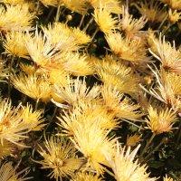 хризантемы :: tina kulikowa