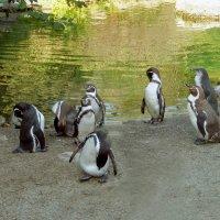Пингвинчики. :: Наталья