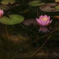 Осенние лилии :: Владимир Шамота