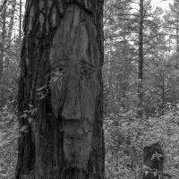Лицо дерева :: Валерий Михмель