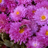 Бал хризантем.фото-3. :: Nata