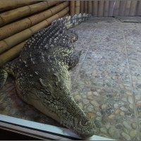 Крокодил Тотоша в Петербурге :: Вера