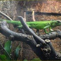Зеленая игуана :: Вера