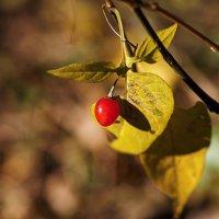 Одинокая ягода. :: Александр Романов