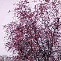 яблоня в снегу :: Светлана Бурлина