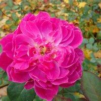 На ковре из жёлтых листьев роза... :: Ирина