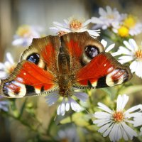крылатые цветы середины октября 3 :: Александр Прокудин