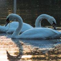 Лебеди на пруду :: Роман Синельников