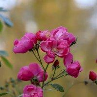 Цветущие в октябре. :: Анатолий. Chesnavik.