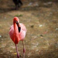 Розовый фламинго :: Игорь Осипенко