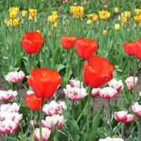 Тюльпановый рай :: Надежда