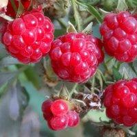 Ягоды малины в октябре... :: Тамара (st.tamara)