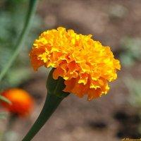 Marigold - золото на осенних клумбах.. :: Андрей Заломленков