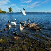 Лебеди и чайка :: Nina Yudicheva