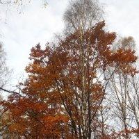 Березы сбросили листву,  дубы стоят во всей красе... :: Елена Павлова (Смолова)