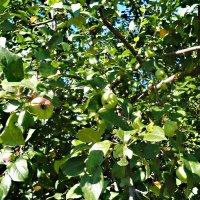 Дикая яблонька :: Mary Коллар