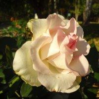 Бело-розовый зефир :: Ирина