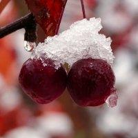 Райские яблочки после снегопада :: Милешкин Владимир Алексеевич