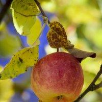 Последнее осеннее яблочко :: Анастасия Мойсук