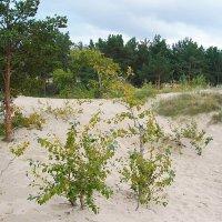 Срсновоборские дюны. :: Лия ☼