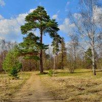 Лес весенний :: Olcen Len