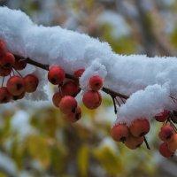 Яблочки на снегу. Ой, нет, под первым снегом! :: Владимир Максимов
