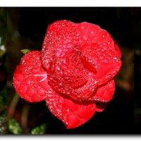 розы   IMG_9980 :: Олег Петрушин